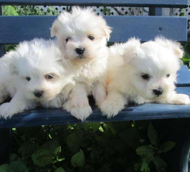 Perritos malteses disponibles