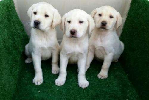 Labradores camada de color dorado.