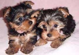 Cachorros adorableteacup yorkie disponibles para un nuevo hogar