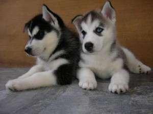 Cute cachorros siberian husky