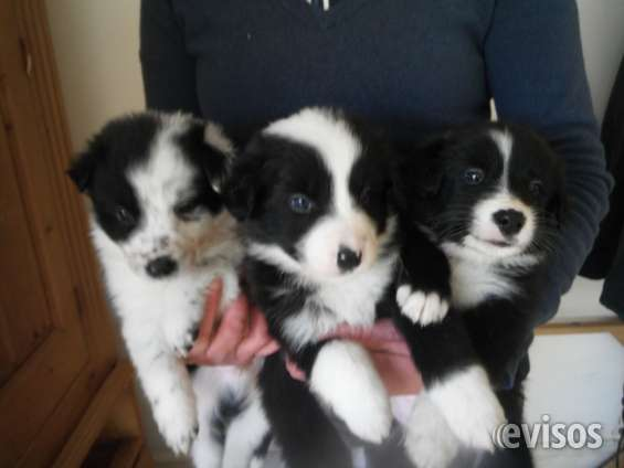 Hermosos cachorros de pura raza border collie.