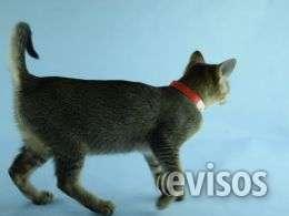 F5a chausie gatitos tica registrados